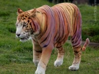Scientists have announced the discovery of what they believe to be a new subspecies of Panthera tigris. Hoax news article by Jim Hayes